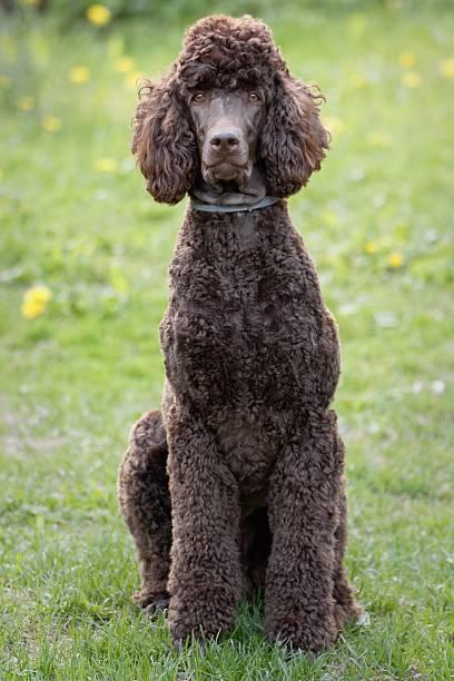 Poodle portrait stock photo