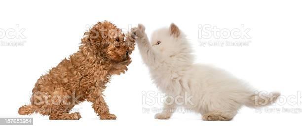 Poodle puppy and british longhair kitten high fiving picture id157653954?b=1&k=6&m=157653954&s=612x612&h=gacjrdzecfmdbgz0a0zmltfxa2rbt53xug uvo6rqtc=