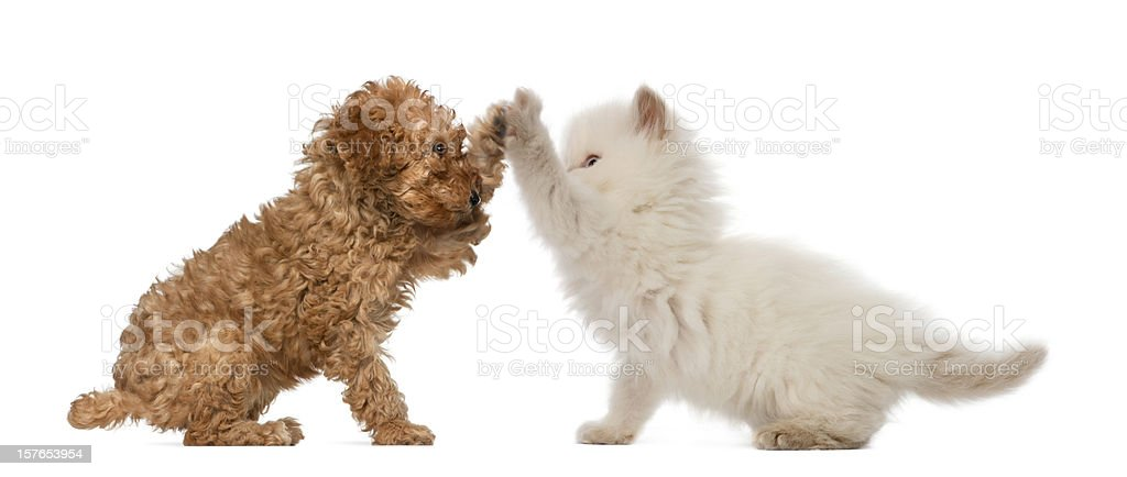 Poodle Puppy and British Longhair Kitten high fiving stock photo