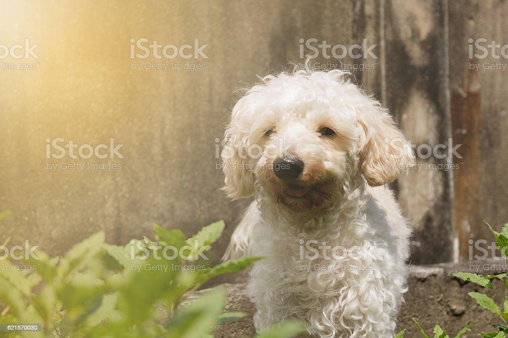 Poodle puppy brown, making soft light. photo libre de droits