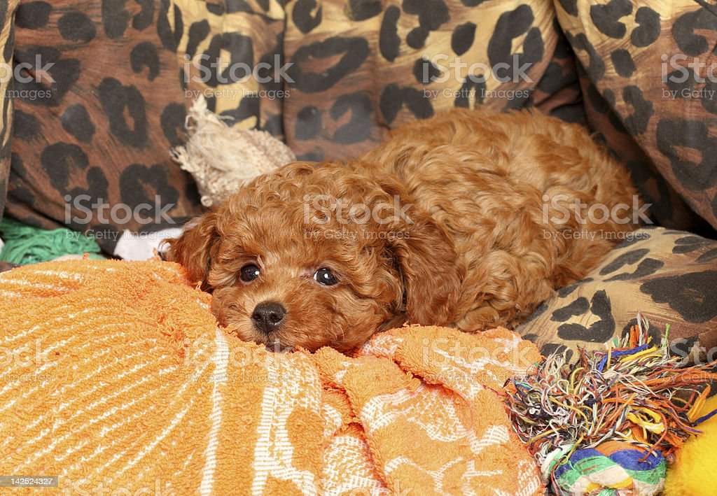 Poodle puppy dreaming royalty-free stock photo