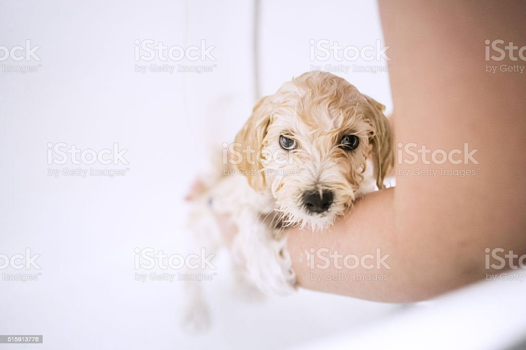 Poodle puppy in bathtub stock photo
