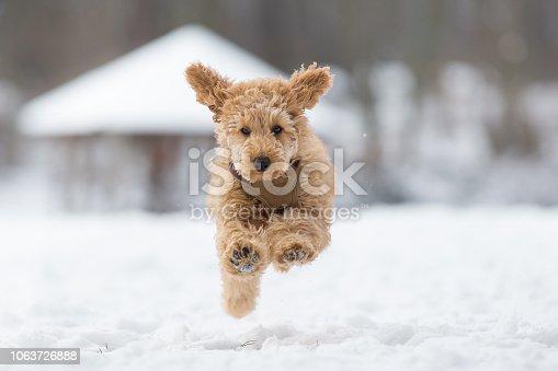 Poodle puppy in the snowy Vienna Woods, Austria - Pudel Welpe im verschneiten Wienerwald, Österreich