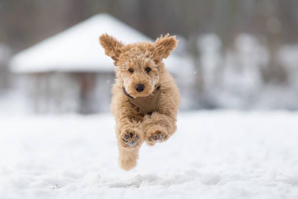 pudel welpen springt im schnee - schneespiele stock-fotos und bilder