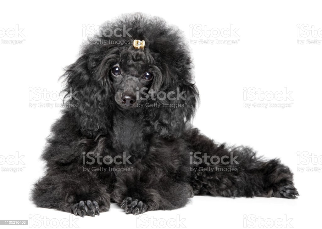 Poodle Puppy On White Background Stock Photo Download Image Now Istock