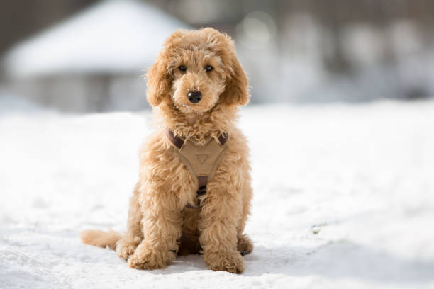 Poodle puppy sitting in the snow picture id1063726746?b=1&k=6&m=1063726746&s=612x612&w=0&h=z1jdj7if7tffhdtte7w7fdwrhlmbvyxtwutwokgrg9u=