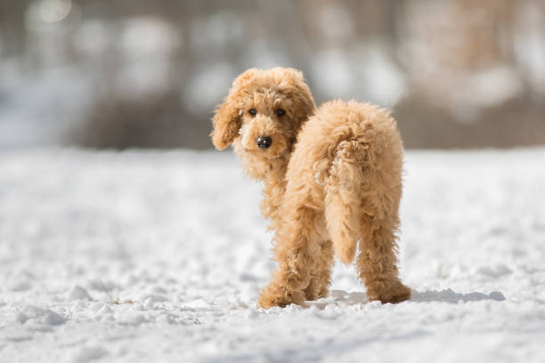 Poodle puppy standing in the snow picture id1063725998?b=1&k=6&m=1063725998&s=612x612&w=0&h=czjii0ofciexy0urytat9ftozizrrx76m7uxoowckqy=