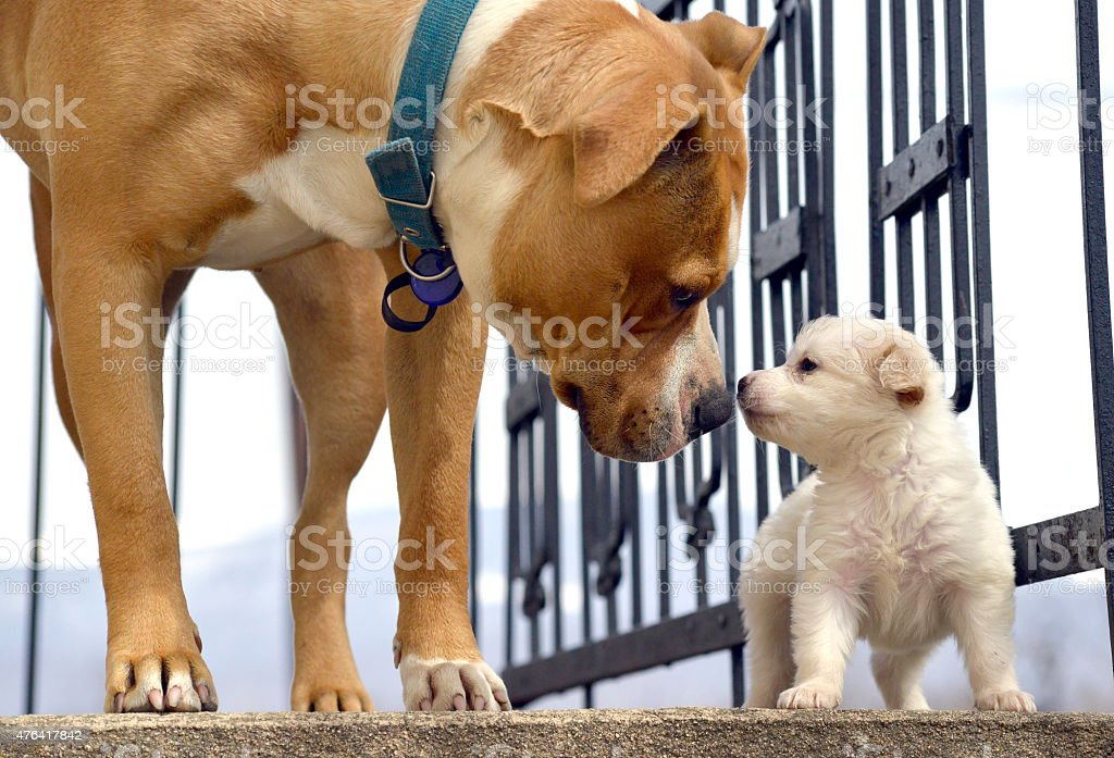poodle puppy`s first meeting with senior amstaff stock photo
