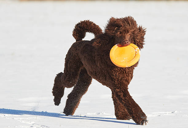 Poodle running with a frisbee in winter stock photo
