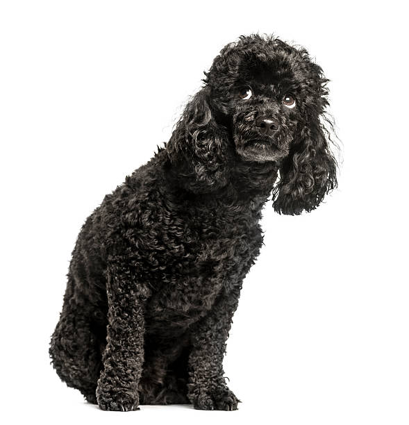 Poodle sitting and looking up scared isolated on white picture id613547154?b=1&k=6&m=613547154&s=612x612&w=0&h=nbvysziki 3mfw9u33weuqojc7tfm5s2k1tifkvzm0e=