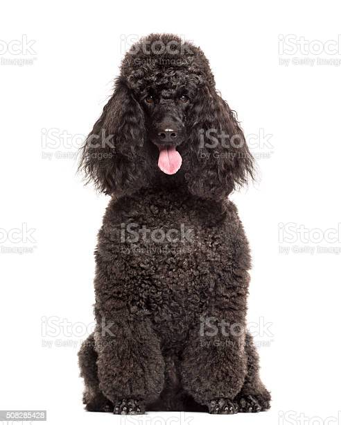 Poodle sitting in front of a white background picture id508285428?b=1&k=6&m=508285428&s=612x612&h=oyot desniwjdubupvpcprxw ens6wkyf9pahkddzyo=