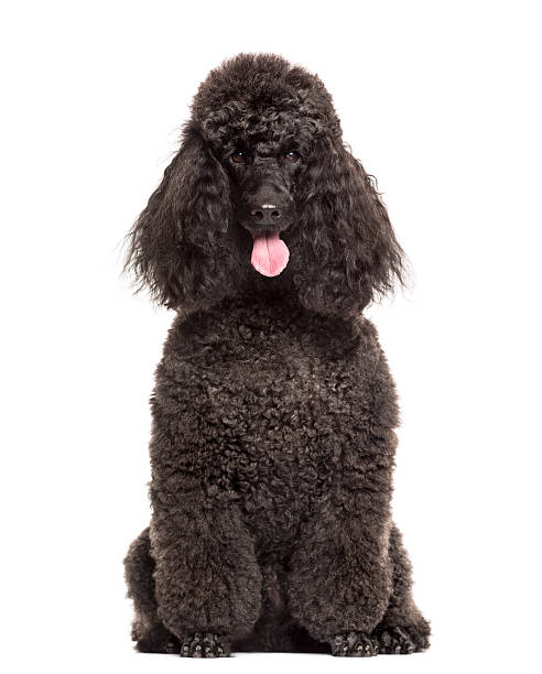 Poodle sitting in front of a white background Poodle sitting in front of a white background poodle stock pictures, royalty-free photos & images