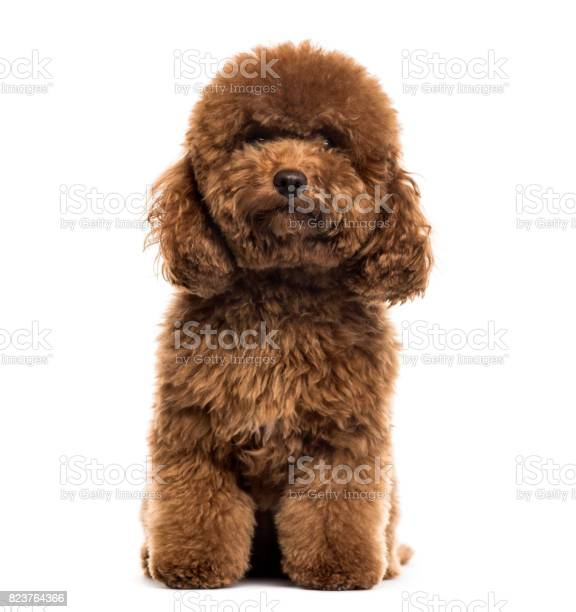 Poodle sitting isolated on white picture id823764366?b=1&k=6&m=823764366&s=612x612&h=ibqc2egwjfrwh3pvgygynjrbxbttbxyux6egq2czdti=