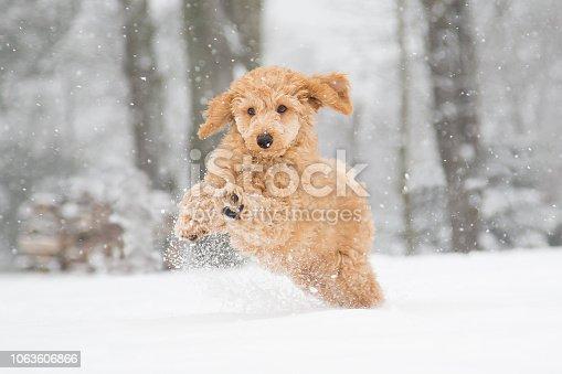 Poodle puppy in the snowy Vienna Woods, Austria  - Pudelwelpe im verschneiten Wienerwald, Österreich