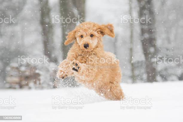 Poodle snow fun picture id1063606866?b=1&k=6&m=1063606866&s=612x612&h=ucj9kvwbpyfkqavpbgjztouapdrvyswpspbh40dttrs=