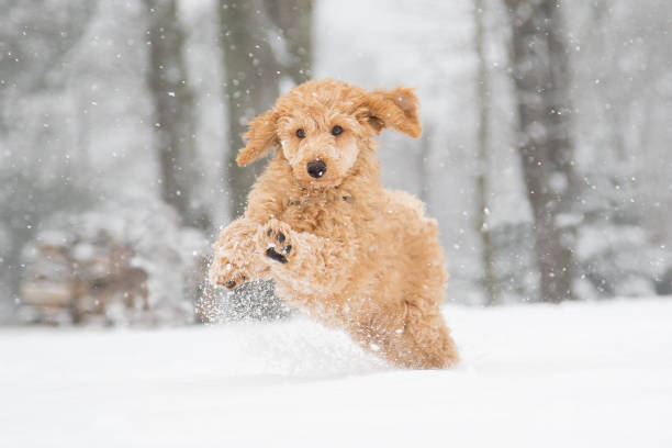 Poodle snow fun Poodle puppy in the snowy Vienna Woods, Austria  - Pudelwelpe im verschneiten Wienerwald, Österreich poodle stock pictures, royalty-free photos & images