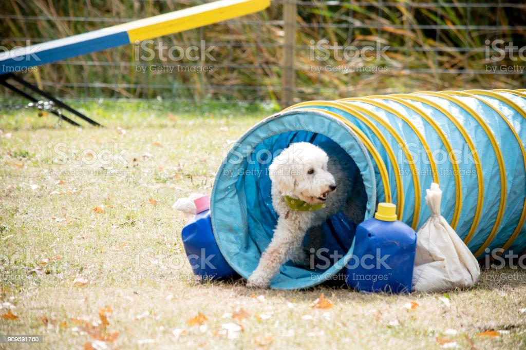 Poodle tube stock photo