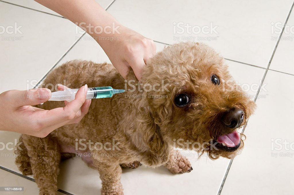 Poodle Vaccination Shot stock photo