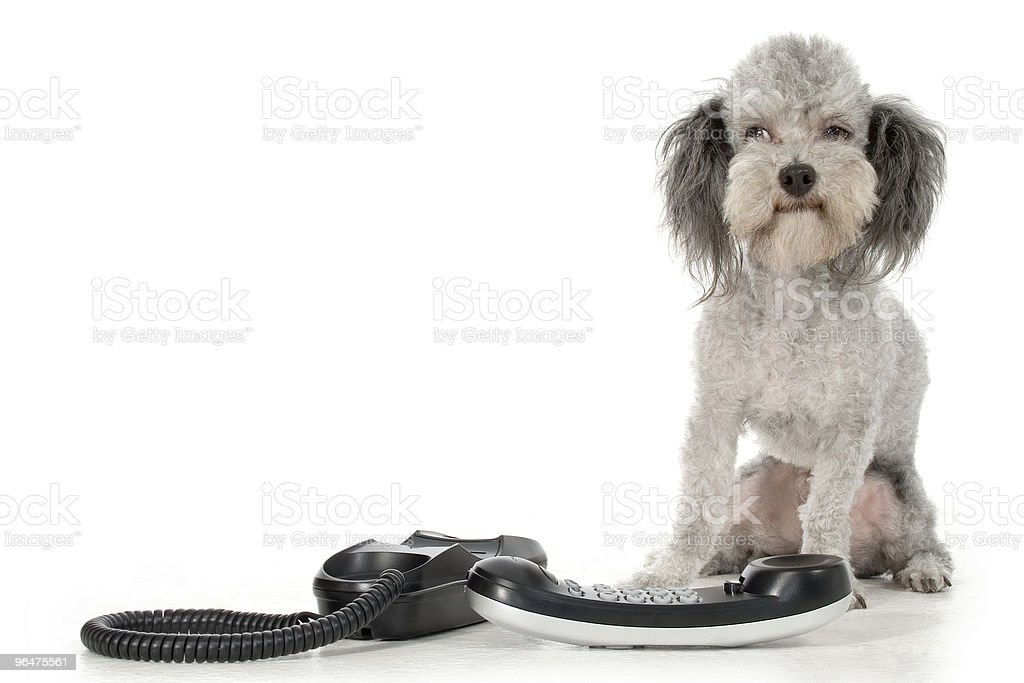 Poodle with Phone royalty-free stock photo