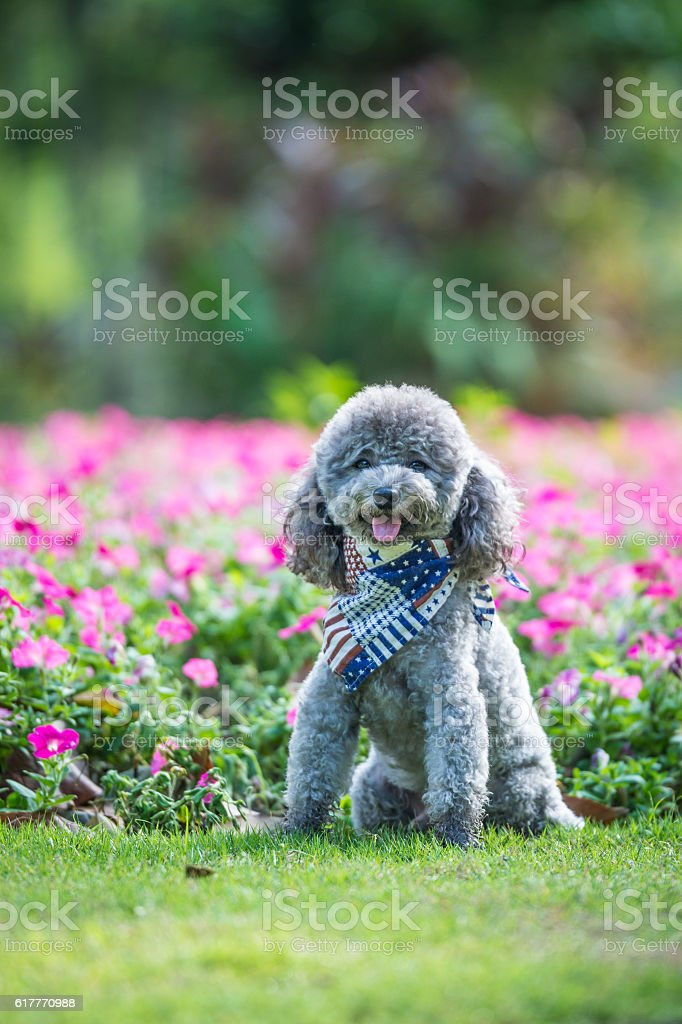 Poodles playing in the grass stock photo