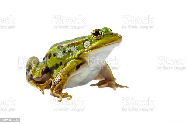Photo of Pool frog male on white