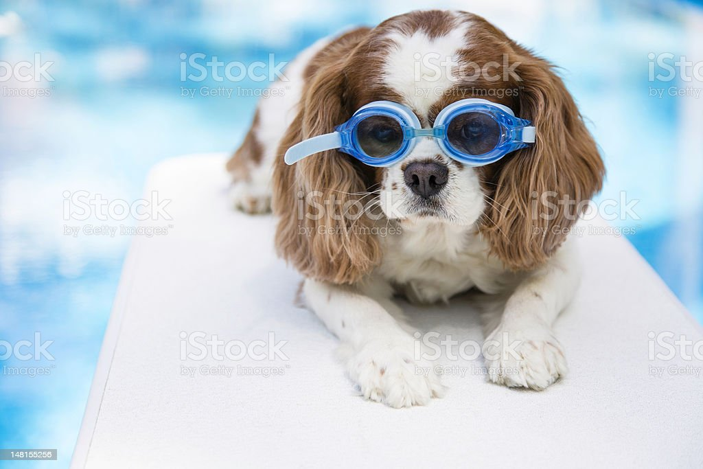 Pool puppy with blue goggles stock photo