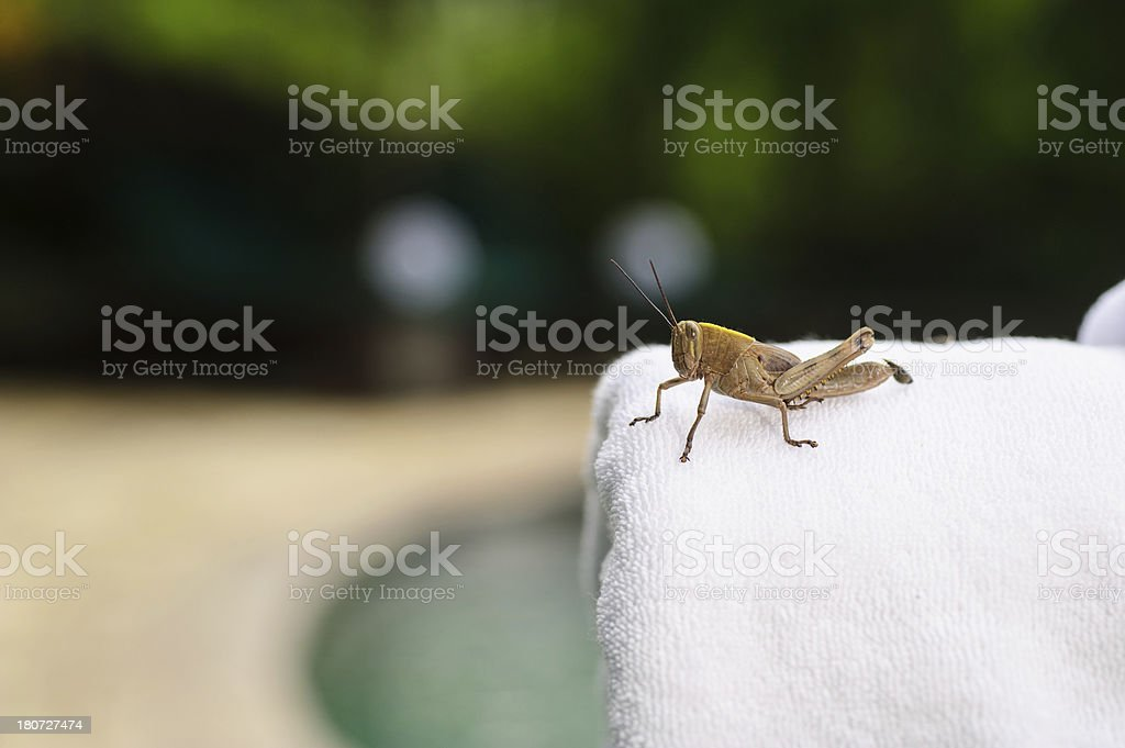 Poolside towel with Grasshopper royalty-free stock photo