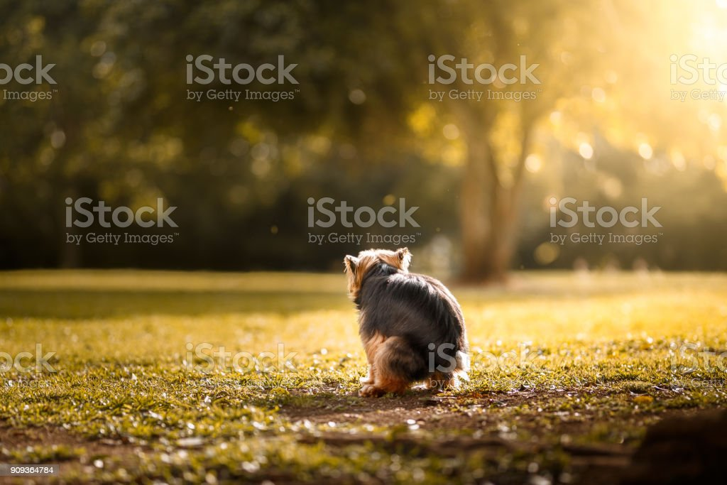 Pooping dog stock photo