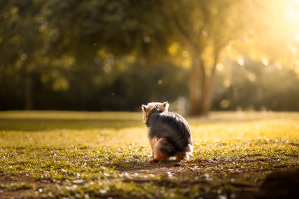 Pooping dog A dog pooping on grass. poop stock pictures, royalty-free photos & images