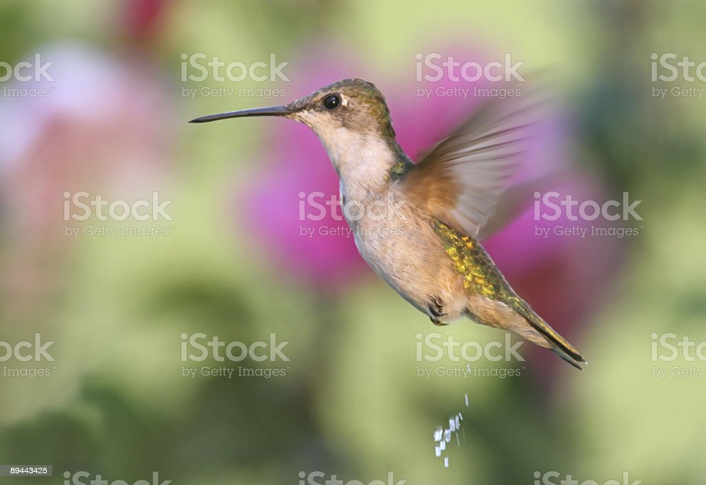 Pooping Hummingbird royalty-free stock photo