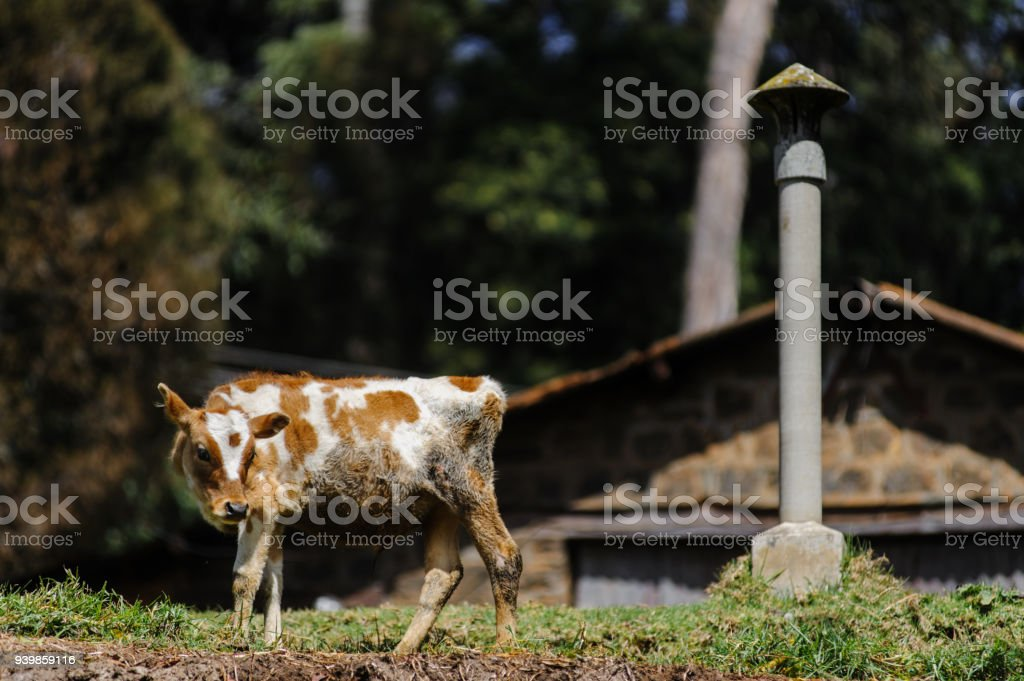 Poor Dirty Cow Stands On The Meadow Near The House Stock