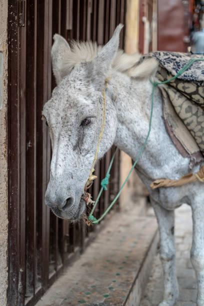 悪いロバを使用して Fes、モロッコの都市の中の商品を転送するには ストックフォト