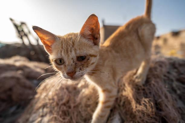 エッサウィラ、モロッコの港で感染した目でかわいそうな小さな猫 ストックフォト