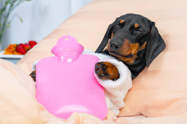 Poor sick dachshund puppy in pajamas lying on hospital bed in ward with pink heating water pad on its chest, and sleeping. Device for relieving aches and soothing cramps, fast recovery Poor sick dachshund puppy in pajamas lying on hospital bed in ward with pink heating water pad on its chest, and sleeping. Device for relieving aches and soothing cramps, fast recovery. dog sick stomach stock pictures, royalty-free photos & images