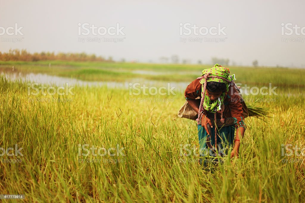 Poor women cutting grass stock photo