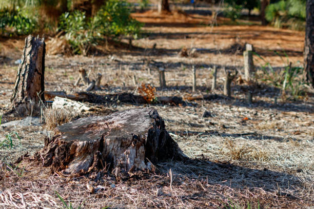 Poorly cut pine tree stump and burned in South Florida near Everglades stock photo