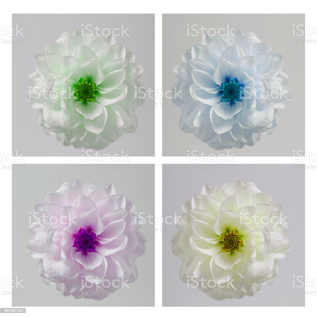 Pop art styled picture of airy dahlia flower against white background. stock photo