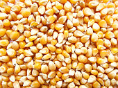 Popcorn maize. Dry corn. Healthy eating. Yellow grain agriculture