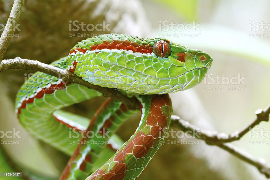 Pope's Green Pitviper stock photo
