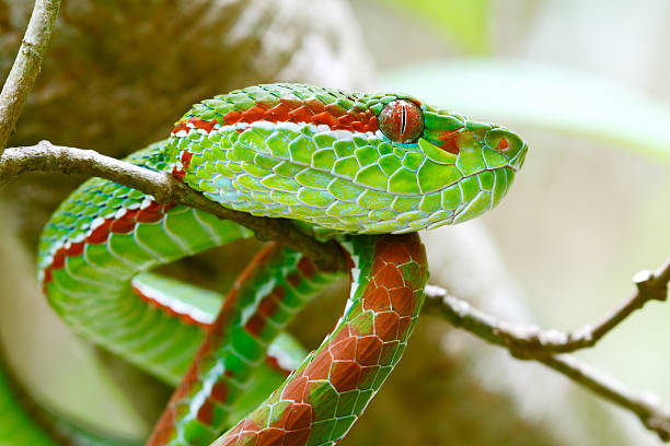 Best Pit Viper Stock Photos, Pictures & Royalty-Free Images