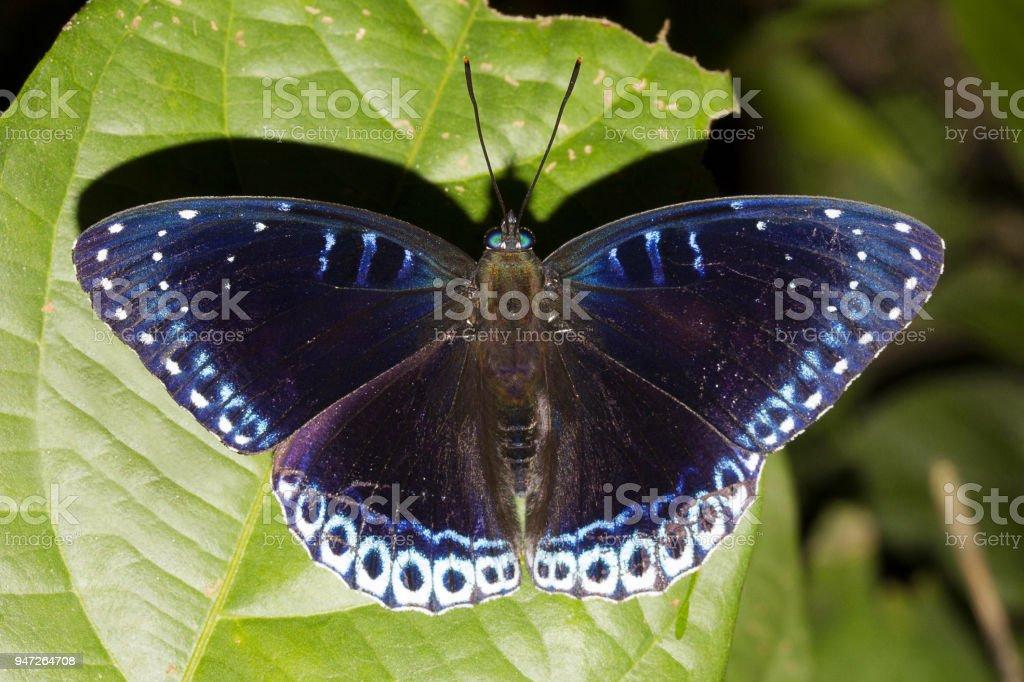 Popinjay, Stibochiona sp, Nymphalidae, Manu,Tripura, India stock photo