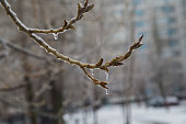 Poplar branch, with dismissed leaves, in ice, in the end of April. Nature whims.