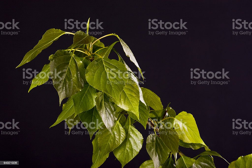 Poplar branch on black background royalty-free stock photo