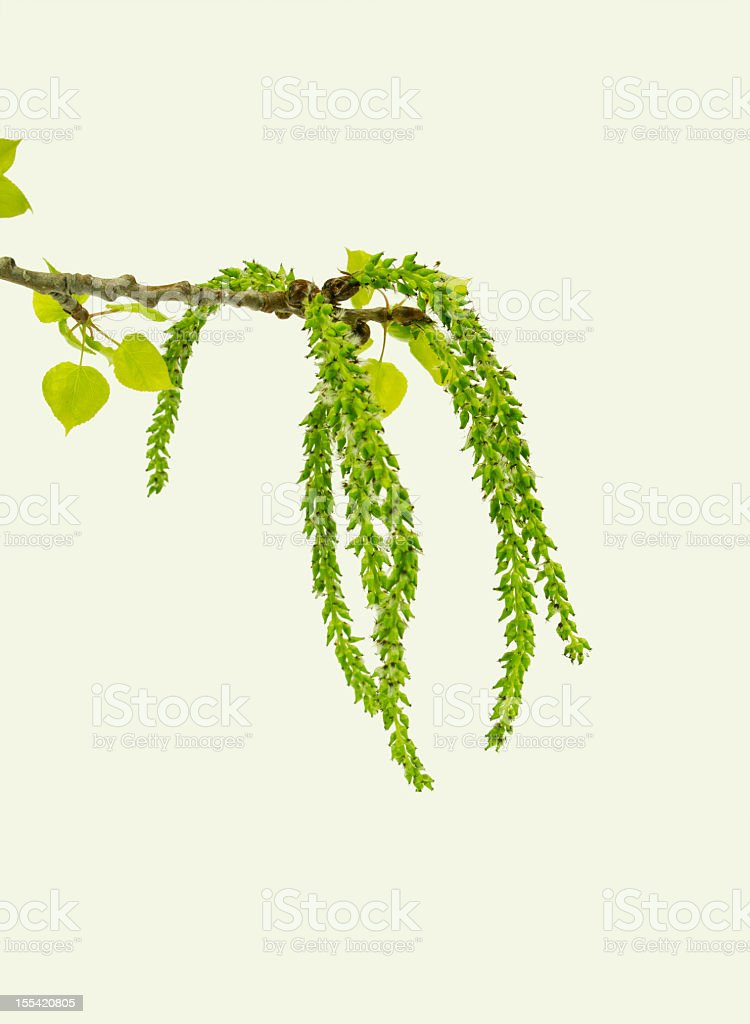 Poplar Catkins on White stock photo