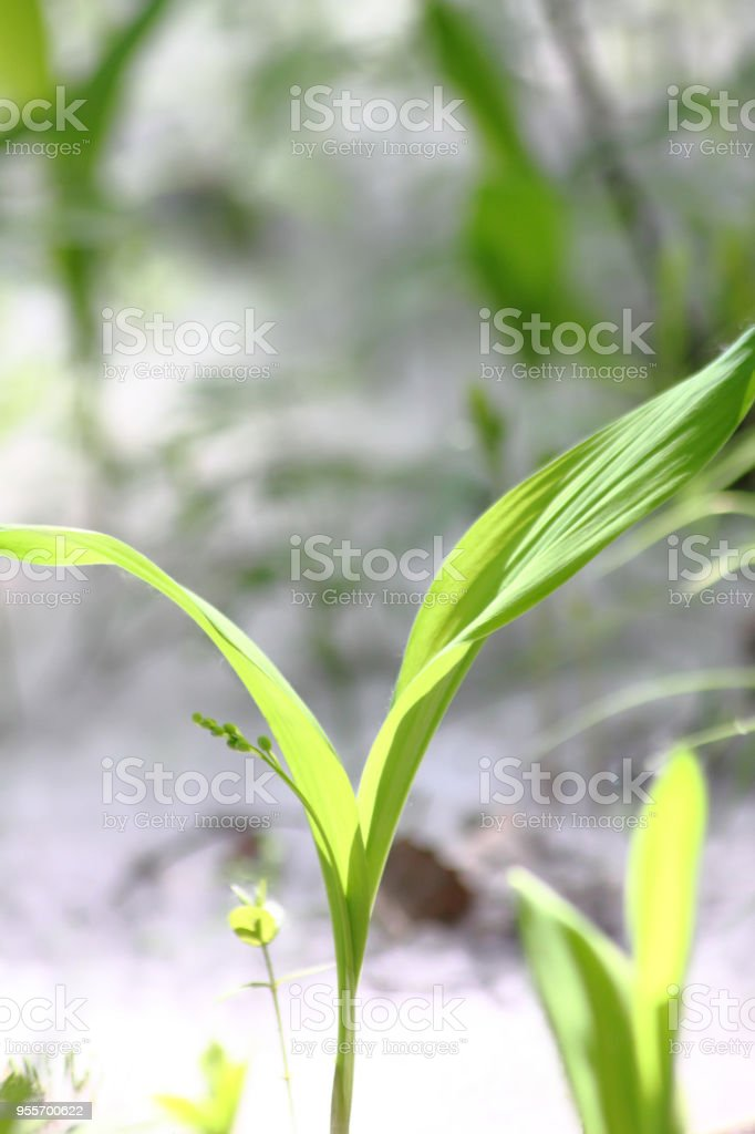 Poplar Down Wood Young Grass Stock Photo - Download Image