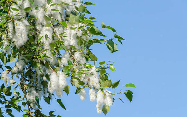 Poplar fluff on the flowering branches Poplar branch with feathers, foliage and seeds on blue sky background close-up cottonwood tree stock pictures, royalty-free photos & images