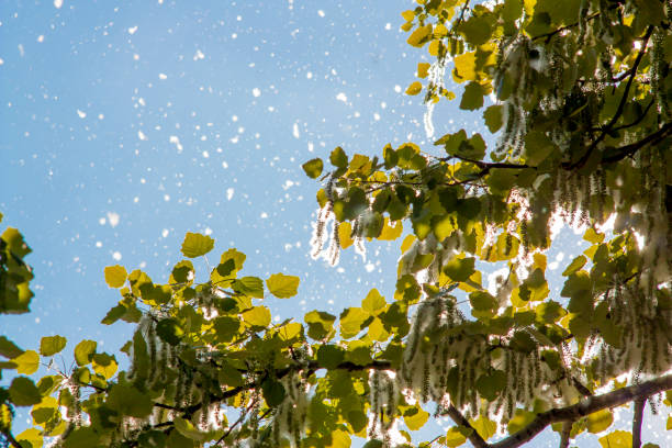 Poplar fluff Poplar fluff in springtime cottonwood tree stock pictures, royalty-free photos & images