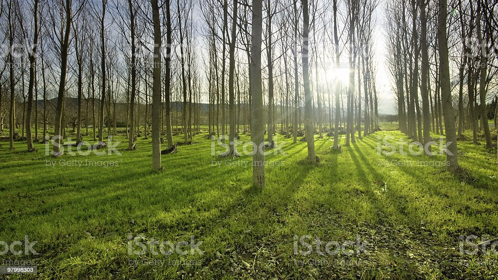 Poplar Forest royalty-free stock photo