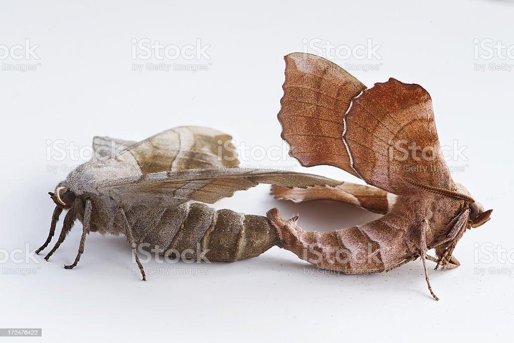 Poplar Hawk Moths Mating royalty-free stock photo