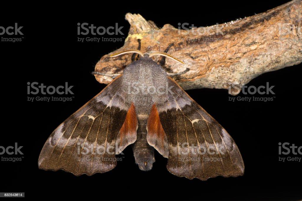 Poplar hawk-moth (Laothoe populi) against black stock photo